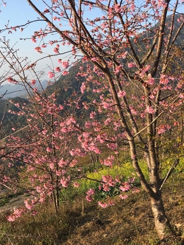 初四櫻花正盛開,賞櫻Go #親子旅遊