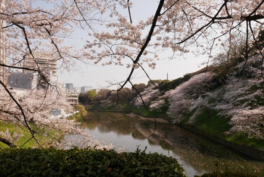 千鳥之淵和上野賞櫻