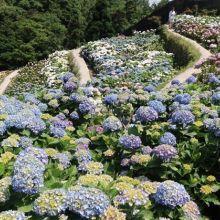 竹子湖繡球花盛開囉!上山打卡當網美、生態體驗半日遊