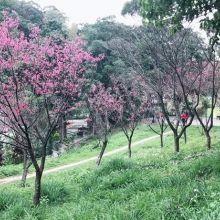 陽明山花季將持續到3/17,親子一同「牽手觀櫻」注意交通管制(詳情入內)