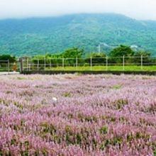 仙草花、薰衣草傻傻分不清楚?台灣「這個縣市」看得到